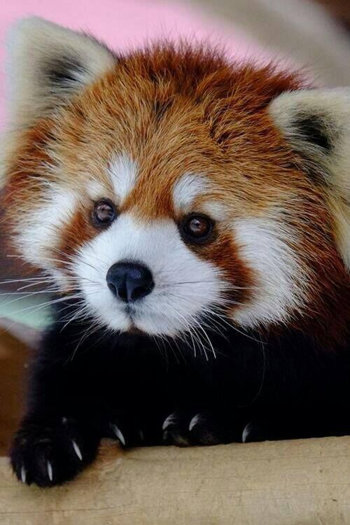 Drawn red panda sad animal Zoos ROUX tree about Plays
