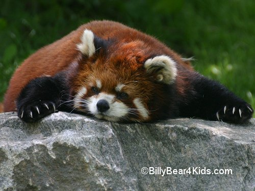 Drawn red panda sad animal And cutest world Pandas Red