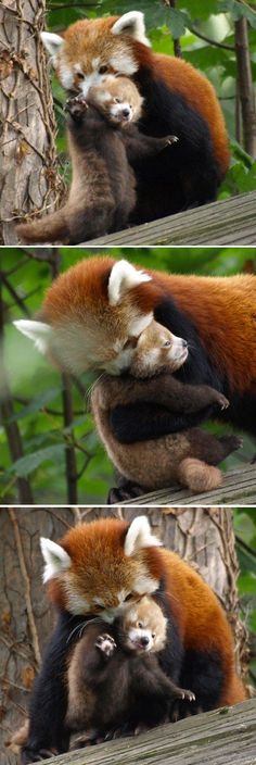 Drawn red panda sad animal Her shows at Panda off
