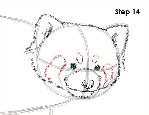 Drawn red panda step by step Panda Red a Draw to
