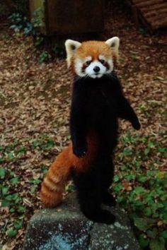 Drawn red panda tailed Red Google Red panda Search