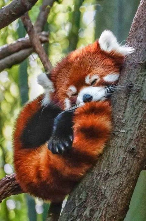 Drawn red panda tailed What images Pandas on Facts