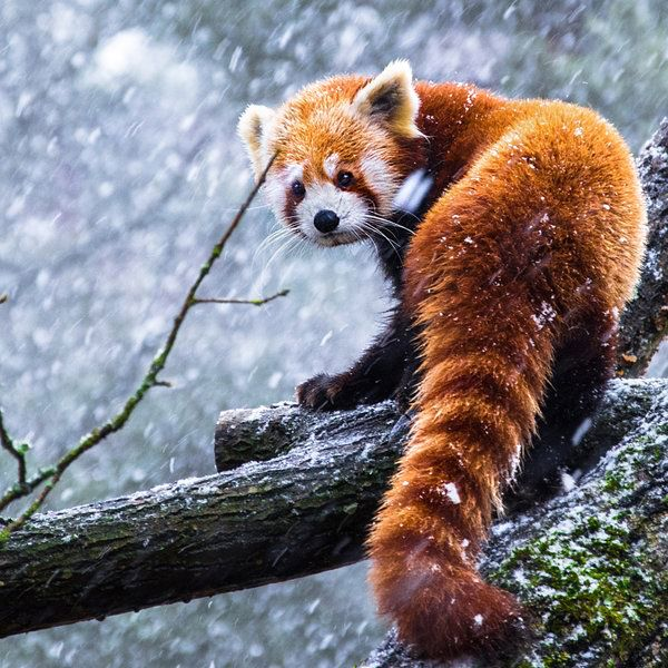 Drawn red panda tailed Find and Red this more
