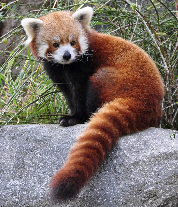 Drawn red panda tailed I on images Pinterest best