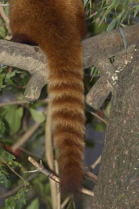 Drawn red panda tailed Red Red panda Panda tail