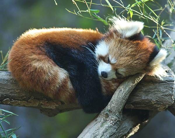 Drawn red panda tree  Panda Ever Panda Red