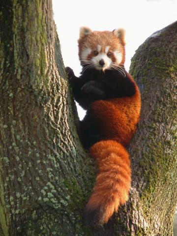 Drawn red panda tree Red and on 25+ Best