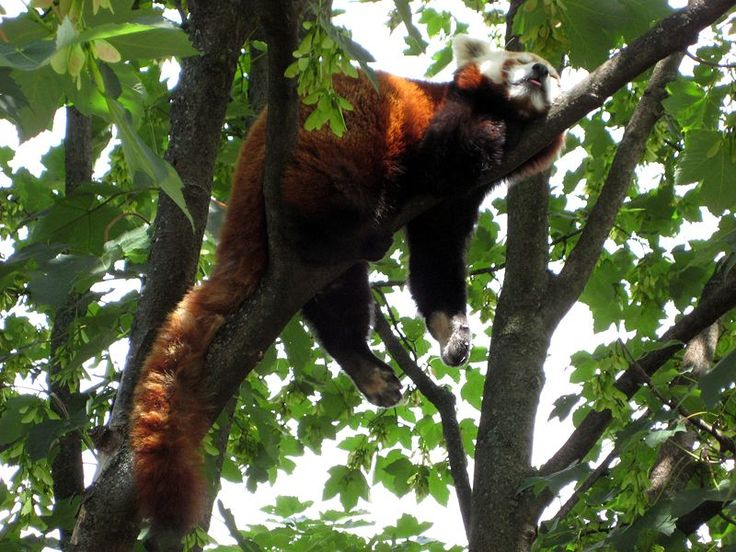 Drawn red panda tree Red Habitat best Panda