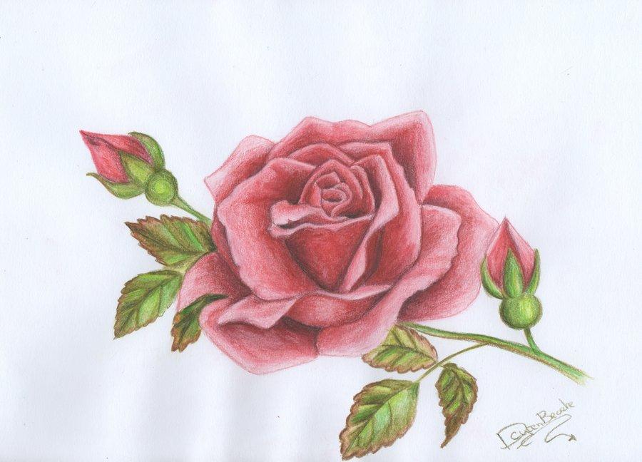 Drawn rose pink rose Littlefantasydragon red red Drawing littlefantasydragon