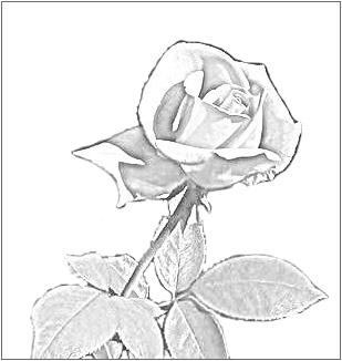 Drawn red rose base And Pencil art rose pencil