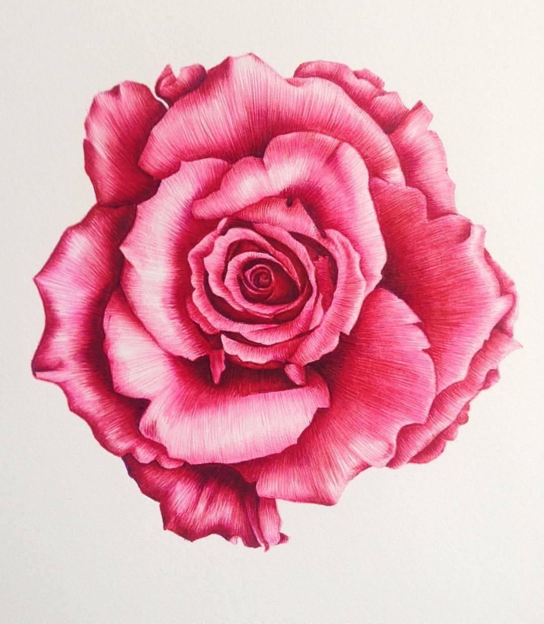 Drawn red rose biro #botanicalart #artist — Botanical #art