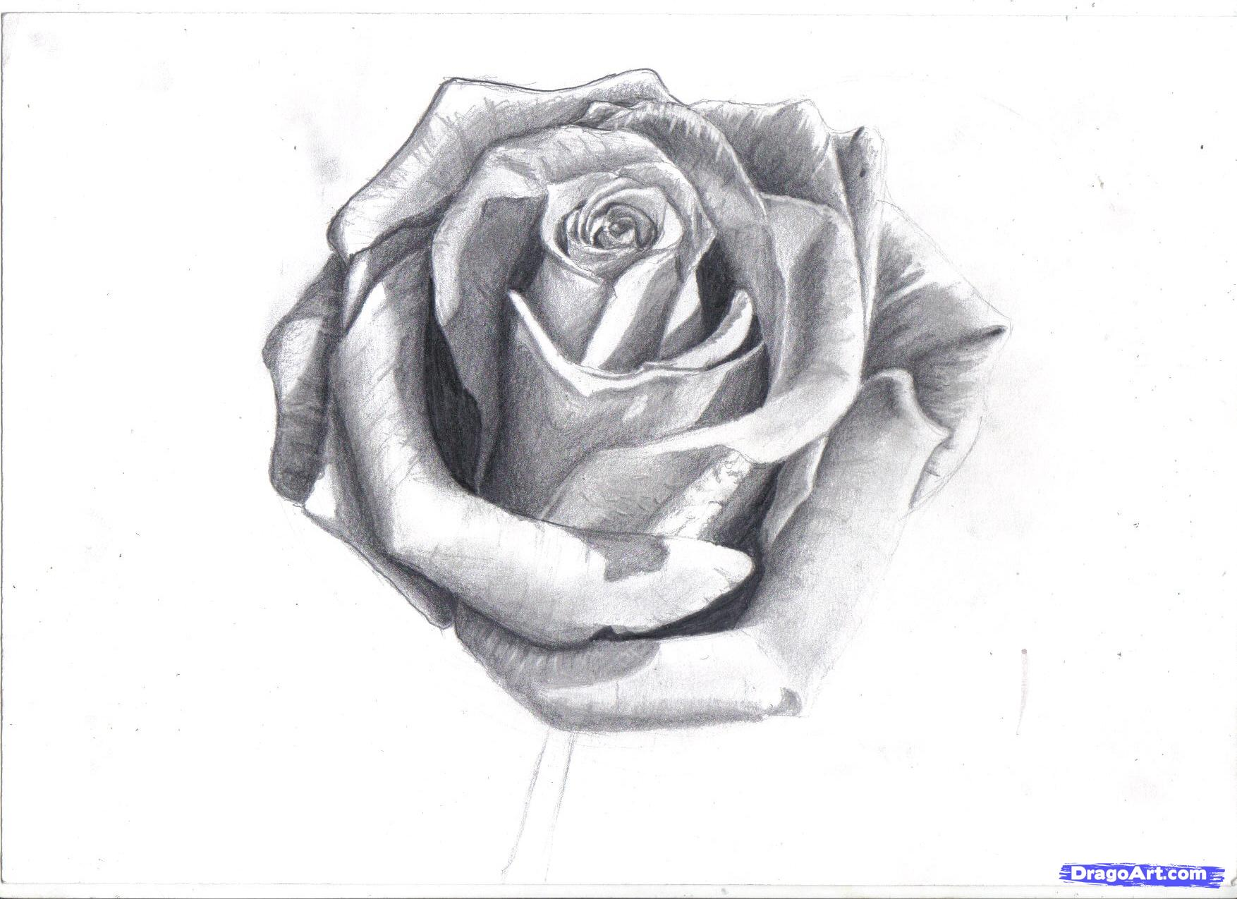 Drawn red rose black and white step by step Red Drawing Realistic Red Rose
