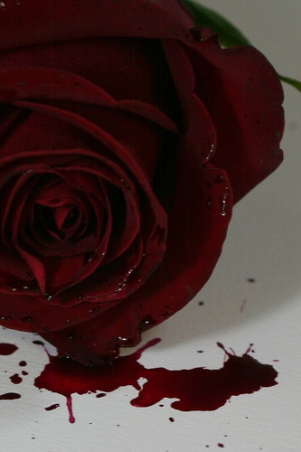 Drawn red rose bleeding love Rose roses dying no torture
