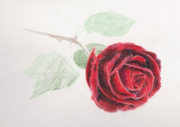 Drawn red rose blooming rose Of Pencil Draw to Layers