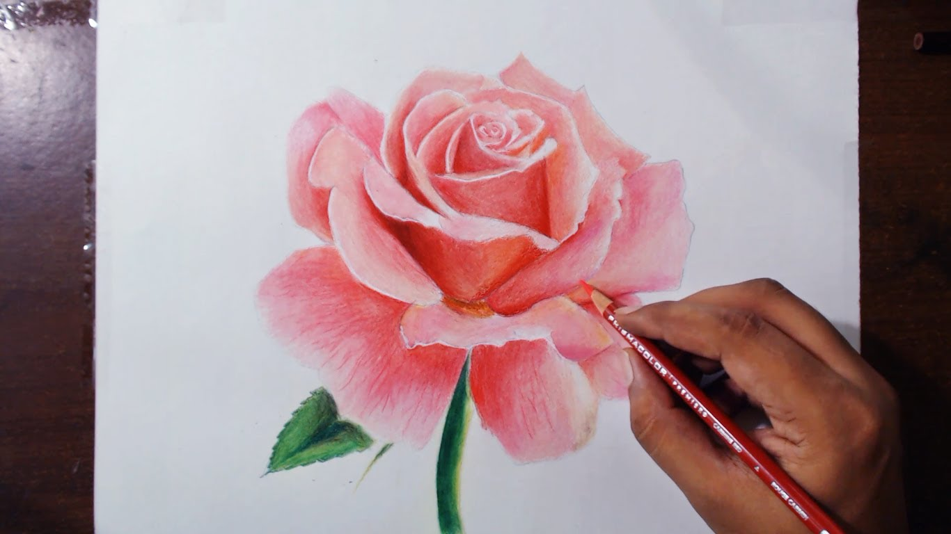 Drawn red rose color Pencils drawing Rose 1 Prismacolor