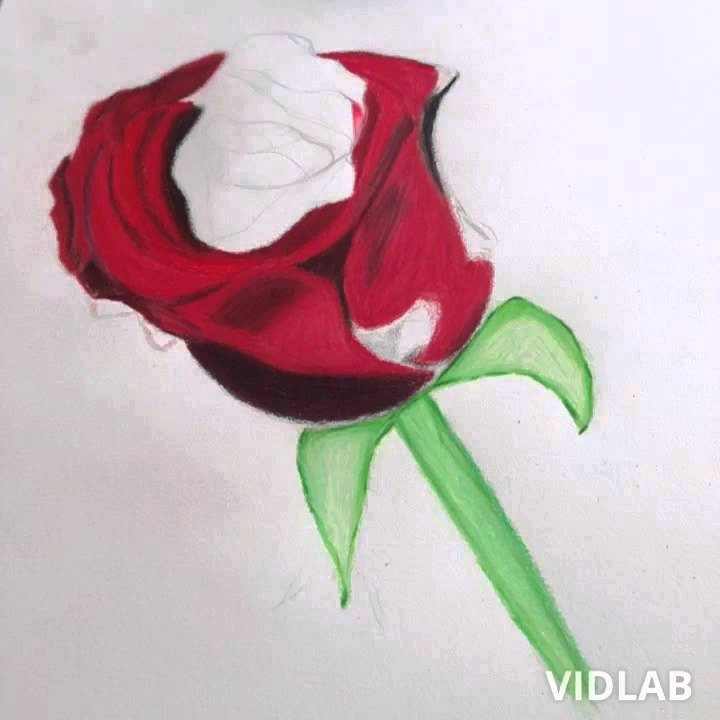 Drawn red rose color pencil YouTube Drawing  rose red