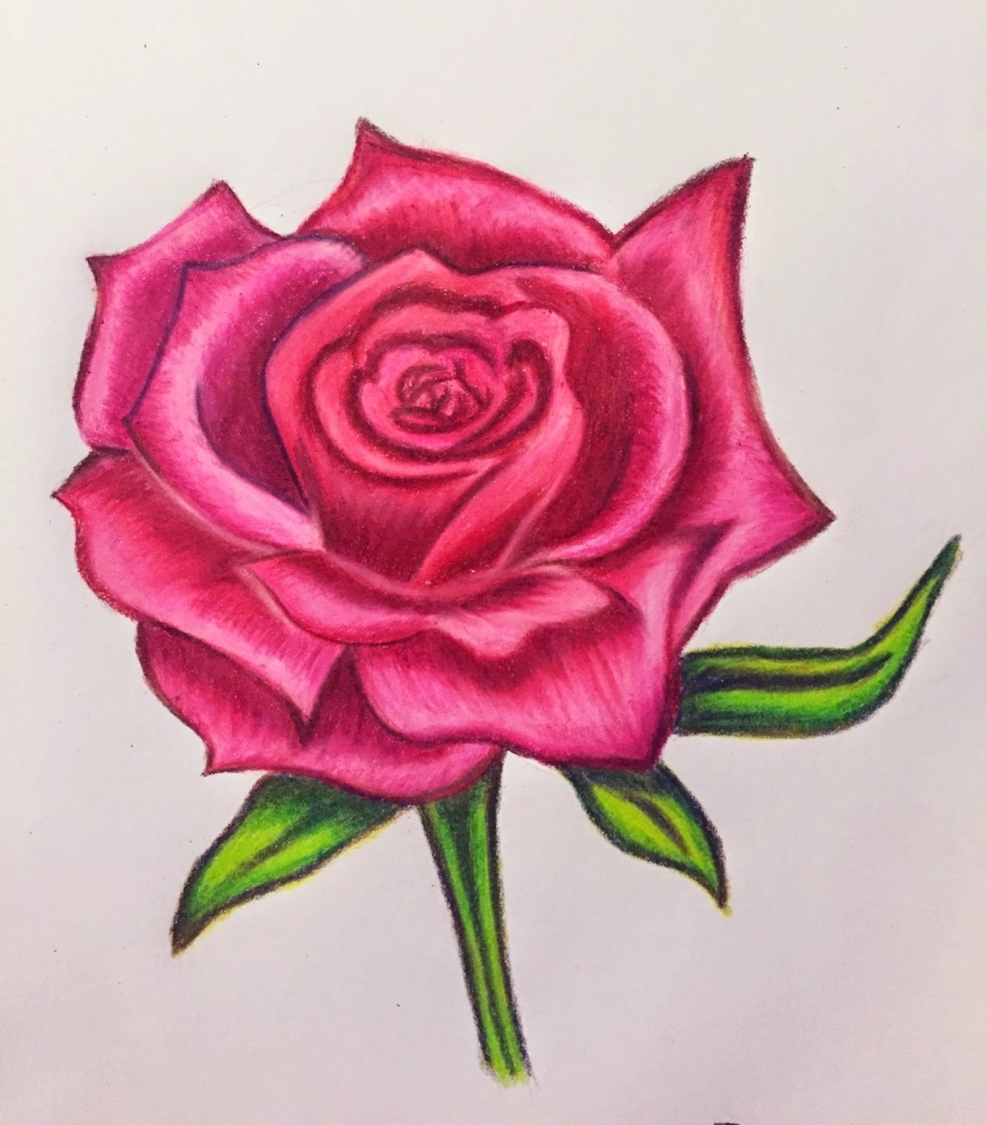 Drawn red rose color pencil Colored Sunday Roses Endeavors Drawing