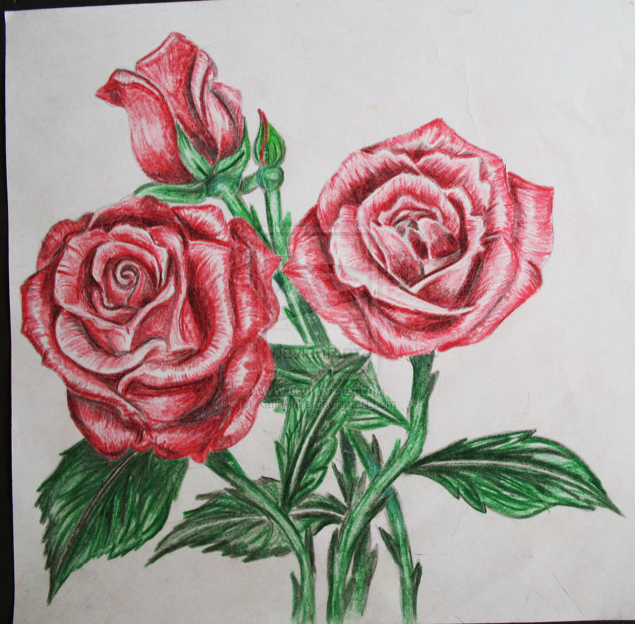Drawn red rose color pencil Search  Google color drawing