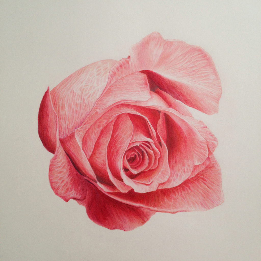 Drawn red rose color pencil A Colored Pencil Deviantart Drawing