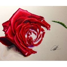 Drawn red rose color pencil  Beautiful by Realistic The