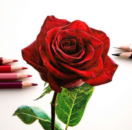 Drawn red rose color pencil Color color Red pencils Rose