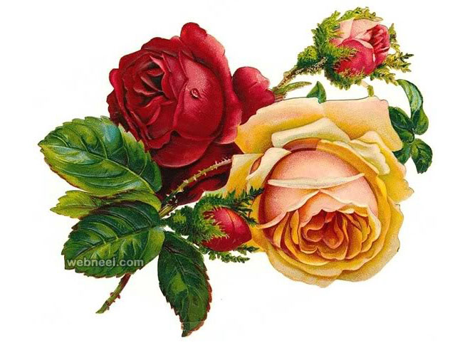 Drawn red rose complex Realistic flower Color Rose drawing