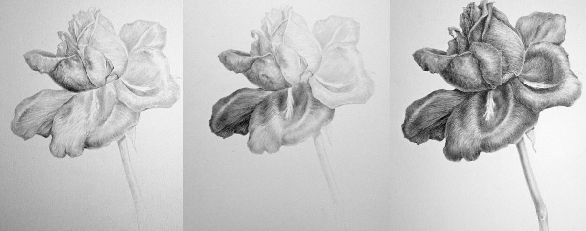 Drawn red rose complex Grades stages of Drawing Various