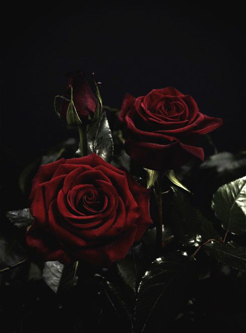 Drawn red rose dark red The Pinterest · on 25+