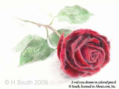 Drawn red rose detailed Rose pencils to to a