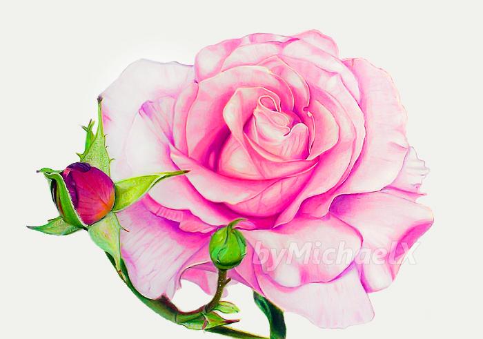 Drawn red rose deviantart DeviantArt of flowers color Drawing
