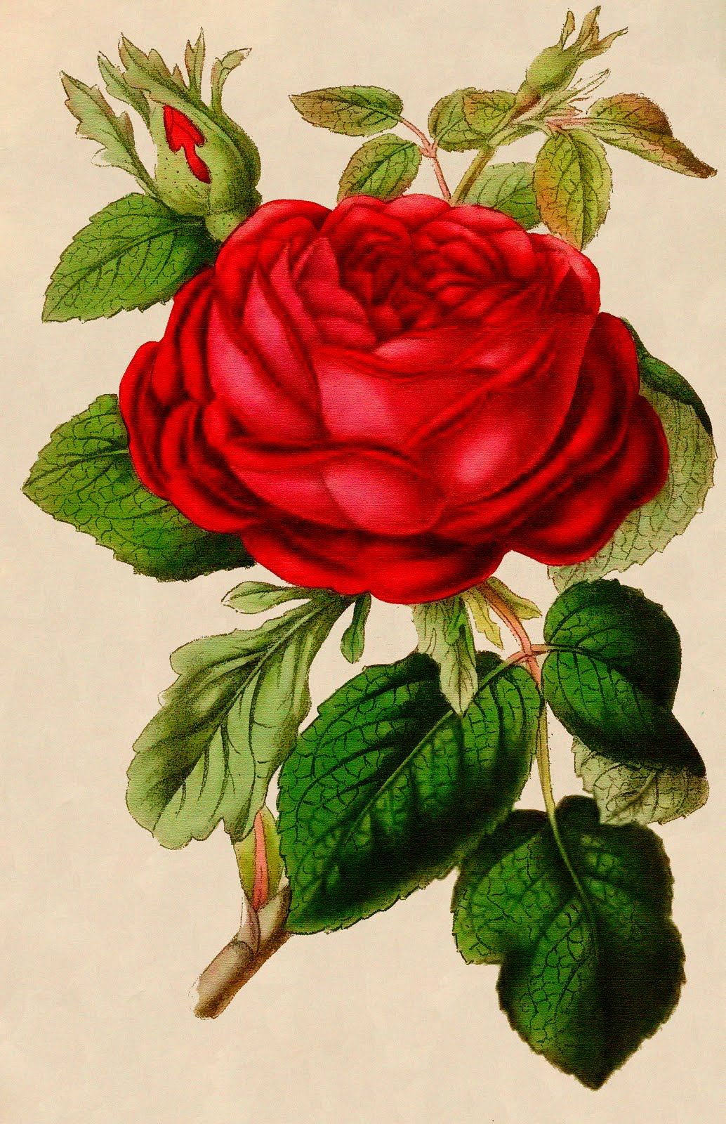 Drawn red rose graphic  of Graphic: Antique Free