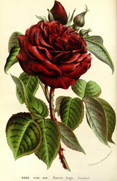 Drawn red rose illustration a 20+ l'Europe Best des Rose