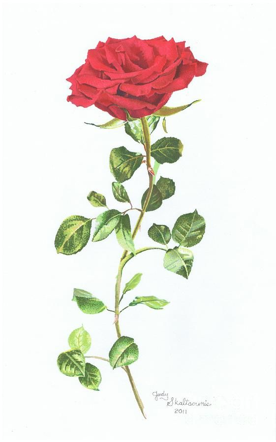 Drawn red rose long stem  Red on rose long
