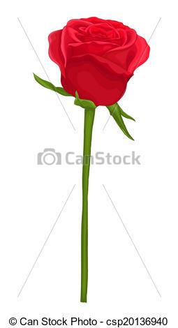 Drawn red rose long stem Beautiful  Vector white beautiful