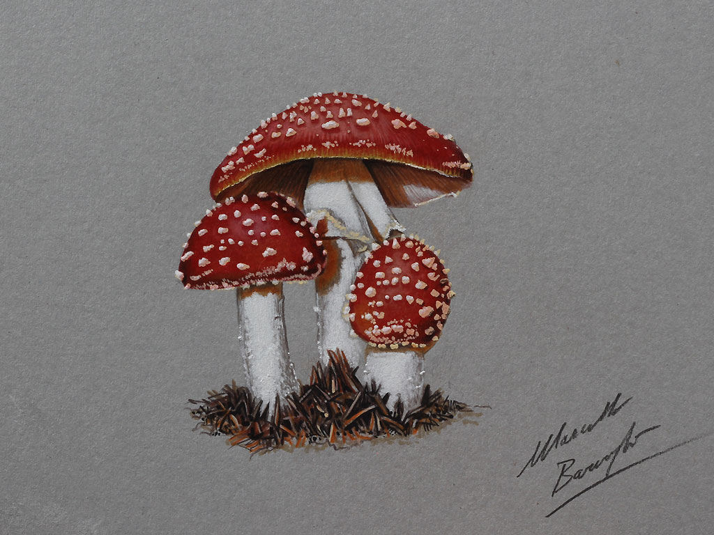 Drawn red rose marcello barenghi Drawing marcellobarenghi Pinterest marcellobarenghi Mushrooms