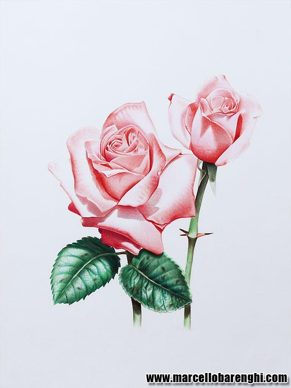 Drawn red rose marcello barenghi Barenghi illustration Illustration Marcello