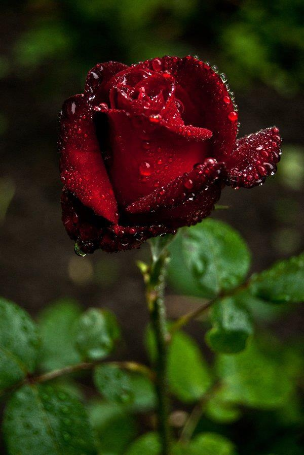 Drawn red rose most beautiful single Jardin on best images fleurs