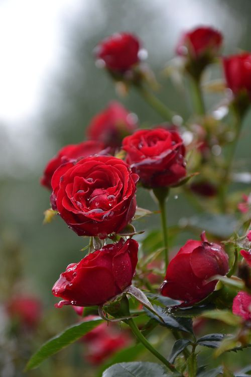 Drawn red rose most beautiful single Best images 473 Pinterest Black