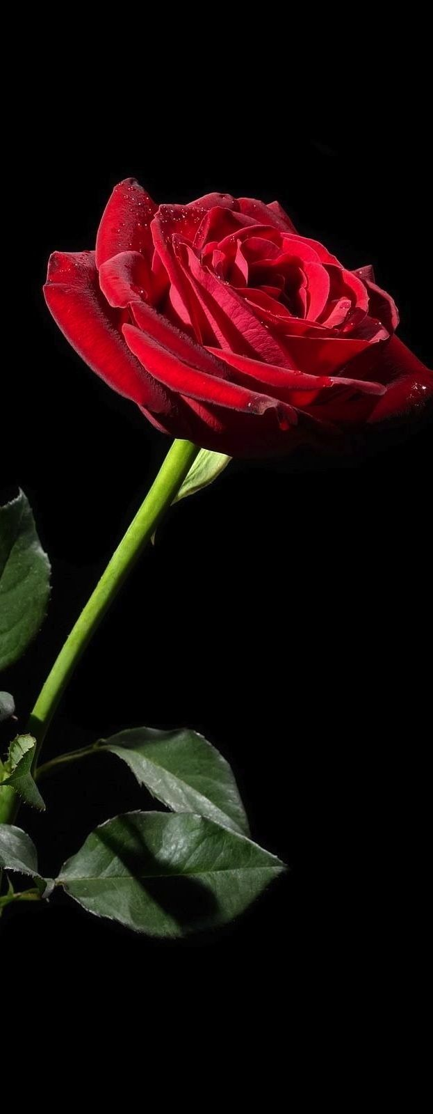 Drawn red rose most beautiful single Beautiful on Red Pinterest ✿⊱╮