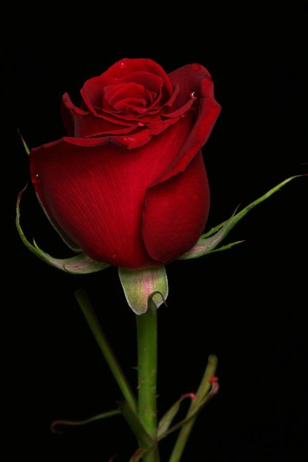 Drawn red rose most beautiful single Red tone 25+ Rubio Single
