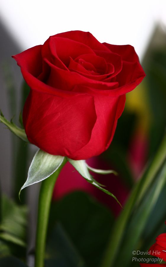 Drawn red rose most beautiful single Single on 25+ only ideas