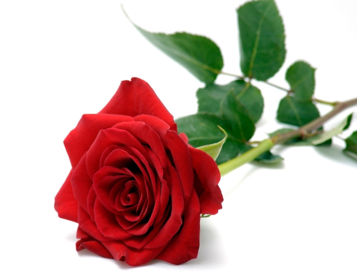 Drawn red rose most beautiful single Drawing Rose Drawing Rose Red