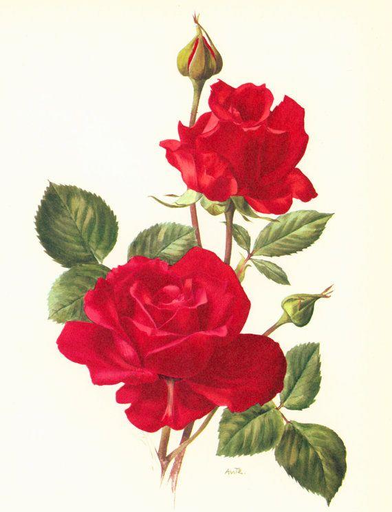 Drawn red rose one Plant decor 25+ antique Pinterest