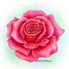 Drawn red rose one Do drawings of Step