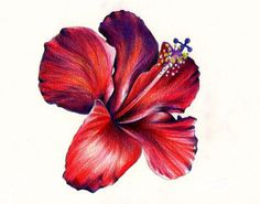 Drawn red rose pencil crayon  Colored Red Pencil rose
