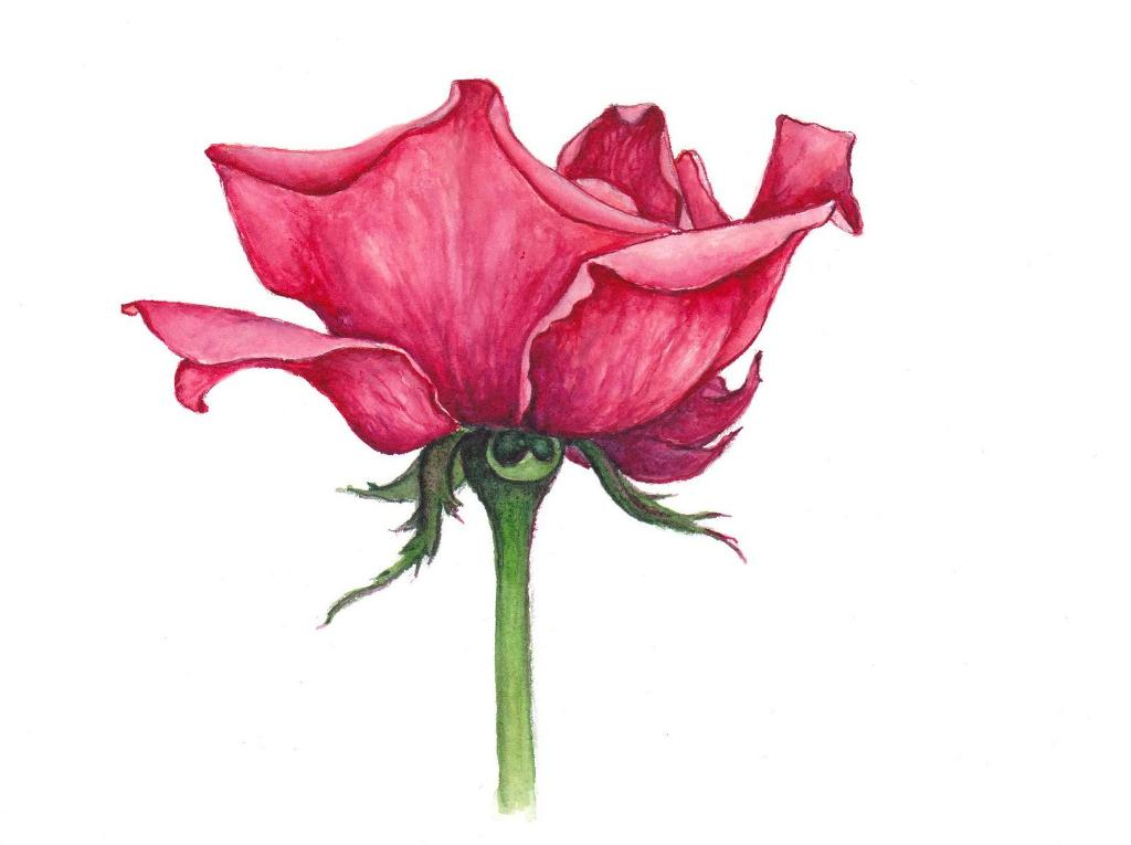 Drawn rose awesome Color of Drawings of Symbol