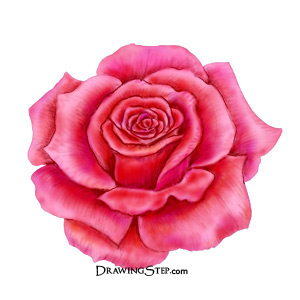 Drawn rose fancy Rose Finish pencil flowers of