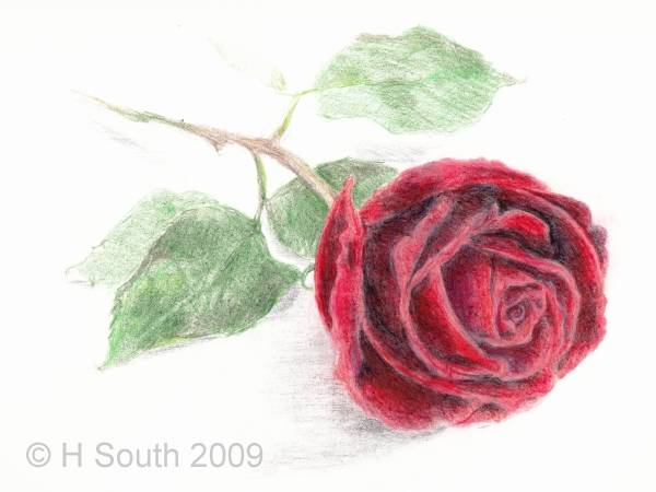 Drawn red rose pencil shading  Rose a Colored 9
