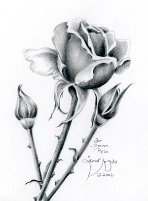Drawn red rose pencil step Step by pencil to with