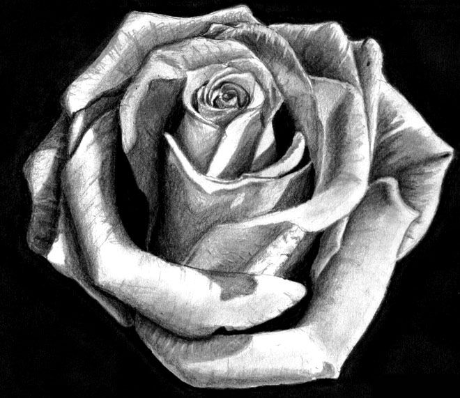 Drawn red rose pencil step Thomas Best The Mind on